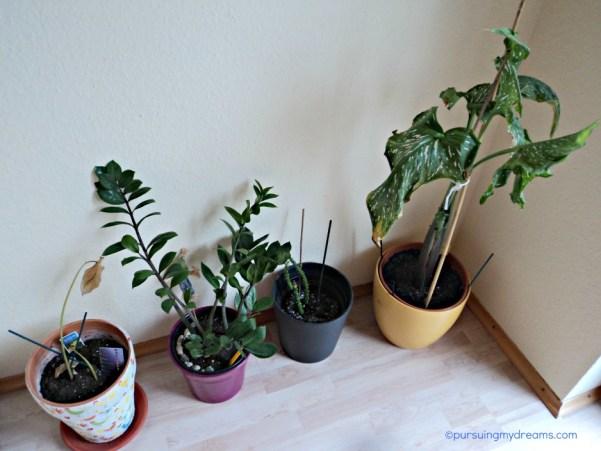 Paling kiri Calla kuning, daunnya mati, lalu Zamio Palme, lalu anak kaktus, paling kanan Calla Jumbo