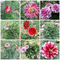 Bunga Dahlia di Ladang Bunga