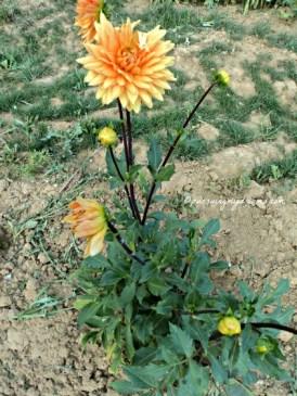 Bunga Dahlia Orange, saya punya seperti ini di rumah