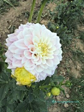 Warna Bunga Dahlianya lembut yaa