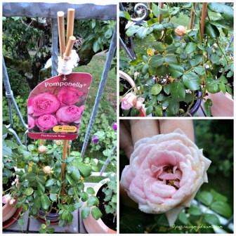 Mawar Pomponella, mirip namaku yaa