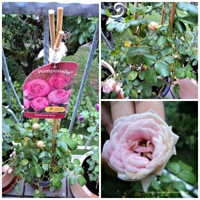 Mawar Pomponella, mirip namaku yaa. Karena terlalu banyak media tanahnya saya berikan yang baru jadi agak layu