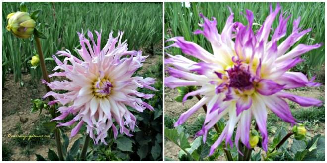 Bunga Dahlia dua Color