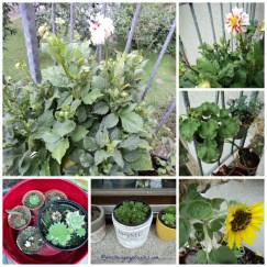 Dahlia Santa Klaus, anakan sempervivum, bunga matahari, Geranium