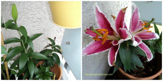 Bunga Lili Oriental Red White