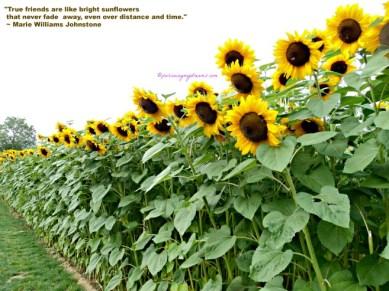 Bunga Matahari Jumbo