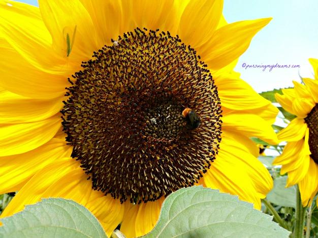 Seekor Lebah asyik melakukan pekerjaannya