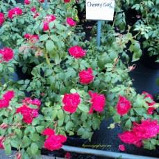 Cherry Girl Rose