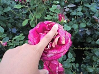 Kelopak Bunga Mawarnya Besar