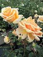 Mawar Valencia. Cantik ya warna Orangenya.