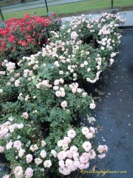 Kumpulan Mawar Putih
