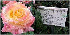 Mawar duo Color