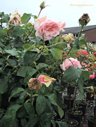 Pohon Mawar di Belanda