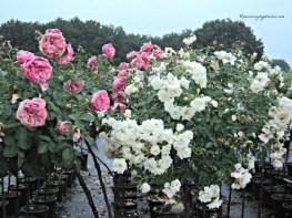 Pohon Mawar Pink dan Putih