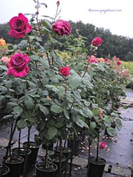 Mawar dapat dijangkiti beberapa penyakit seperti karat daun yang merupakan penyakit paling serius