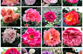 Tampak Dekat Kelopak Bunga Mawar di Taman Mawar Lottum Belanda