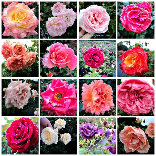 Tampak Dekat Kelopak Bunga Mawar di Taman Mawar Lottum Belanda. Saya dedikasikan untuk teman-teman pecinta Bunga Mawar