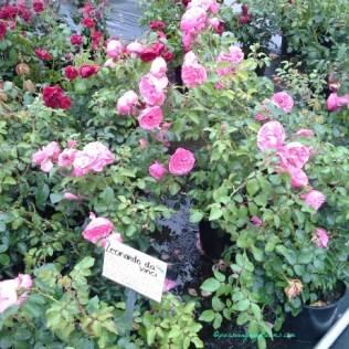 Bunga Mawar Leonardo Da Vinci. Canti ya Bunganya Berlapis-lapis