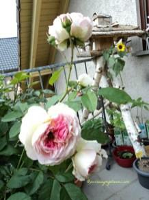 Mawar Kurfürstin sophie 31
