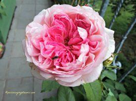 Mawar ini wangi