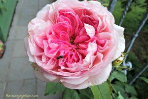Bunga Mawar Cantik Archives Pursuing My Dreams