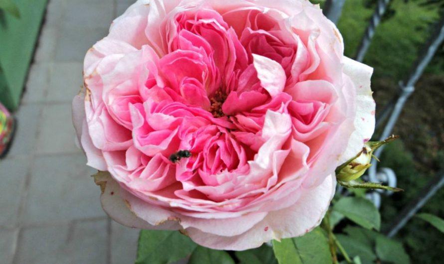 Bunga Mawar Koleksiku