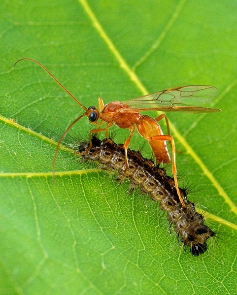 Aleiodes indiscretus tawon parasitoid. Sumber Foto: Wikipedia oleh Scott Bauer