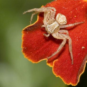 Crab spider Xysticus spec