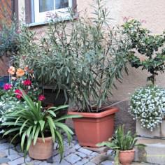Tanaman-tanaman Penghias Halaman Rumah