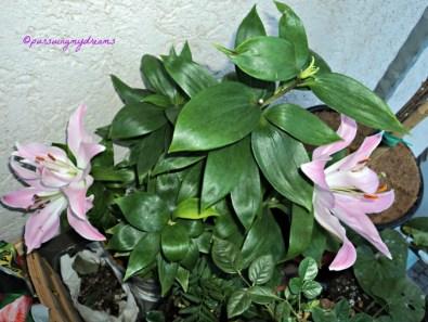 Lili Casablanca Bunga lainnya sudah mekar. Foto 1 Oktober 2013