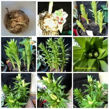 Pertumbuhan Bunga Lili dari Bibit
