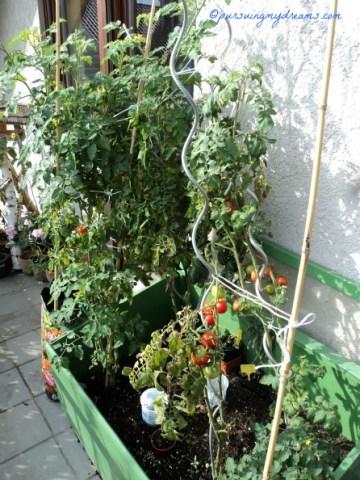 Tanaman tomat-tomatku