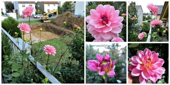 Dahlia Seerosenblütige Onesta. Bunga dahlia yang paling terakhir kutanam ternyata dalam sebulan berbunga. Foto Oktober 2013