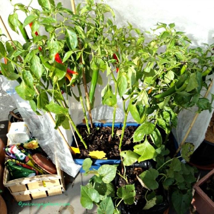 Cabe Spanyol, yang depan ubi merah halahhh daun-daunnya bolong-bolong