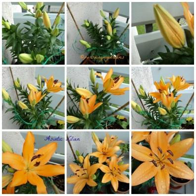 Cantiknya si Orange Bunga Lili. Asiatische Lilien