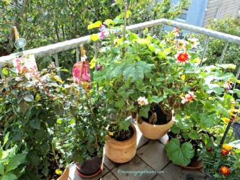 2 jenis Mawar belum bebrunga lagi, hanya subur daunnya, tidak saya pupuk lagi karena sudah dingin siap-siap dipangkas