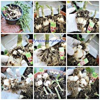 Bongkar Bunga Lili Asiatic Orange yang selesai Berbunga