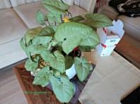 Tanaman ini berada diatas meja ruang tamu, namanya Syngonium Podophyllum White Butterfly