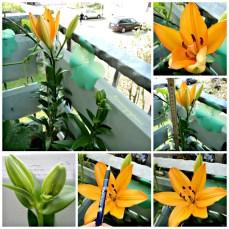 Bunga Lili Asiatik Generasi kedua. Tetap secantik yang pertama kali mekar. Asiatic Lily flower. Foto 8.10.2013