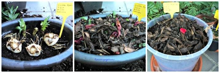 Umbi Bunga Lili saya tanam kembali di pot berbatu ternyata udara sudah dingin jadi tidak tumbuh-tumbuh, jadi saya pindahkan ke POt Plastik