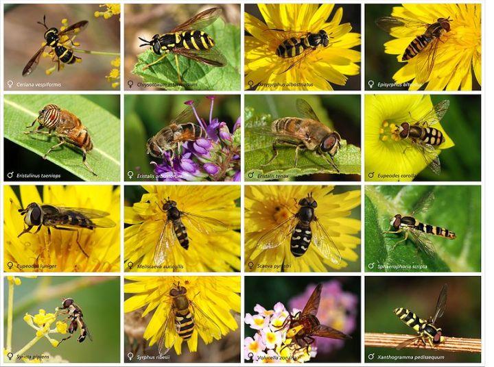 Larva Hoverflies, adalah insektivora dan memangsa kutu daun, thrips dan serangga penghisap tanaman lainnya. Sumber Foto: Wikipedia