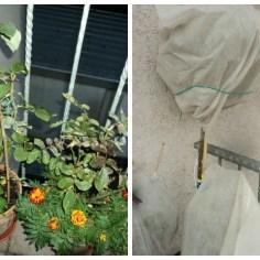 Kiri 3 pot bunga mawar sebelum diselimuti, masih banyak bakal bunganya