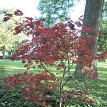 Apakah ini pohon Maple Jepang