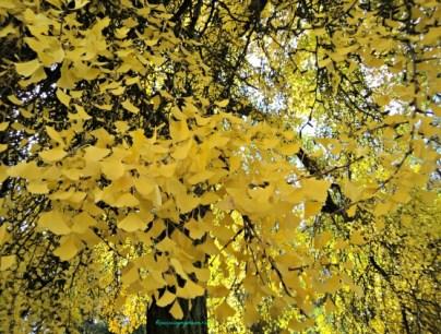 Kata Mutiara Saat Mencari Cinta. Herbstlaub autumn leaves. Bad Wimpfen 18.10.2013