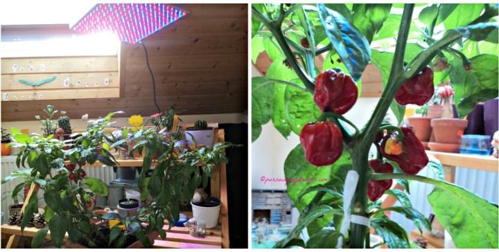 Dalam Rumah nih Tanaman Cabe Habanero di berikan growing lamp tumbuh subur