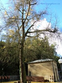 2 Minggu kemudian saya ke lokasi yang sama, daun-daun pohonnya sudah rontok