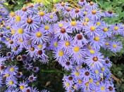 Tampak dekat bunga Aster