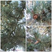 Pohon Cemara atau pohon pinecone ya. Pokoknya buah keringnya disebut pinecone