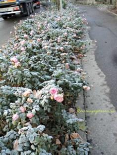 Mawar di Jalanan terkena salju