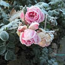 Bunga Mawarnya seperti diawetkan di lemari pendingin, jadi kaku